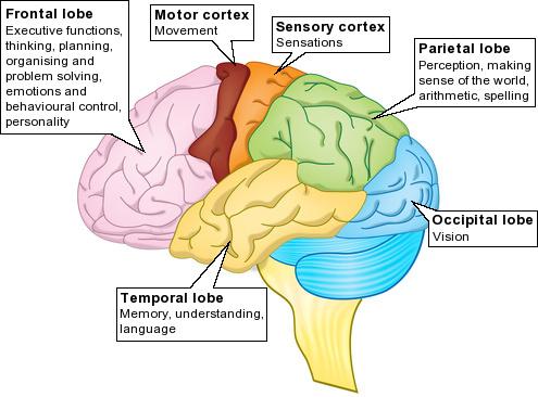 Frontal Lobe of Brain